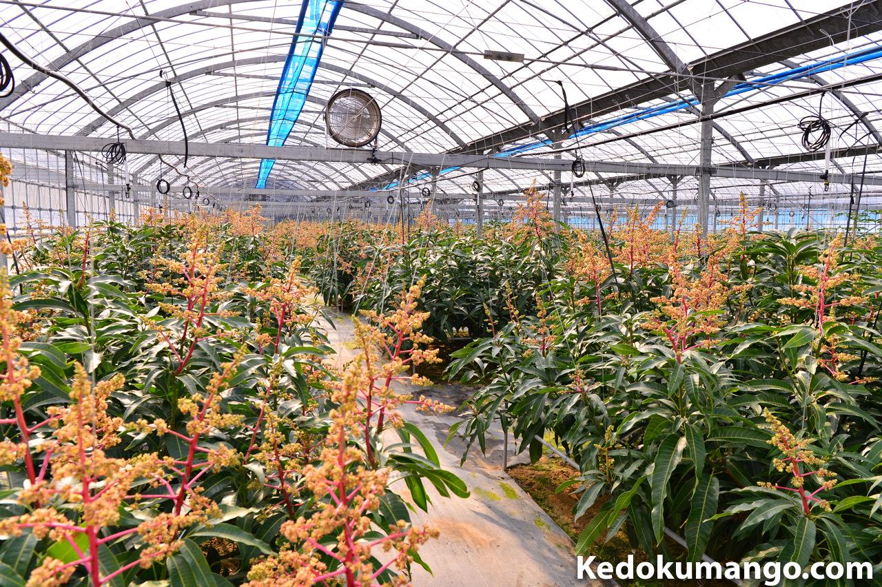 2017年4月上旬のマンゴー栽培の様子