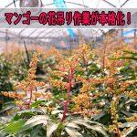 徳之島での【マンゴー栽培】では2017年も花吊り作業が本格化してきました!