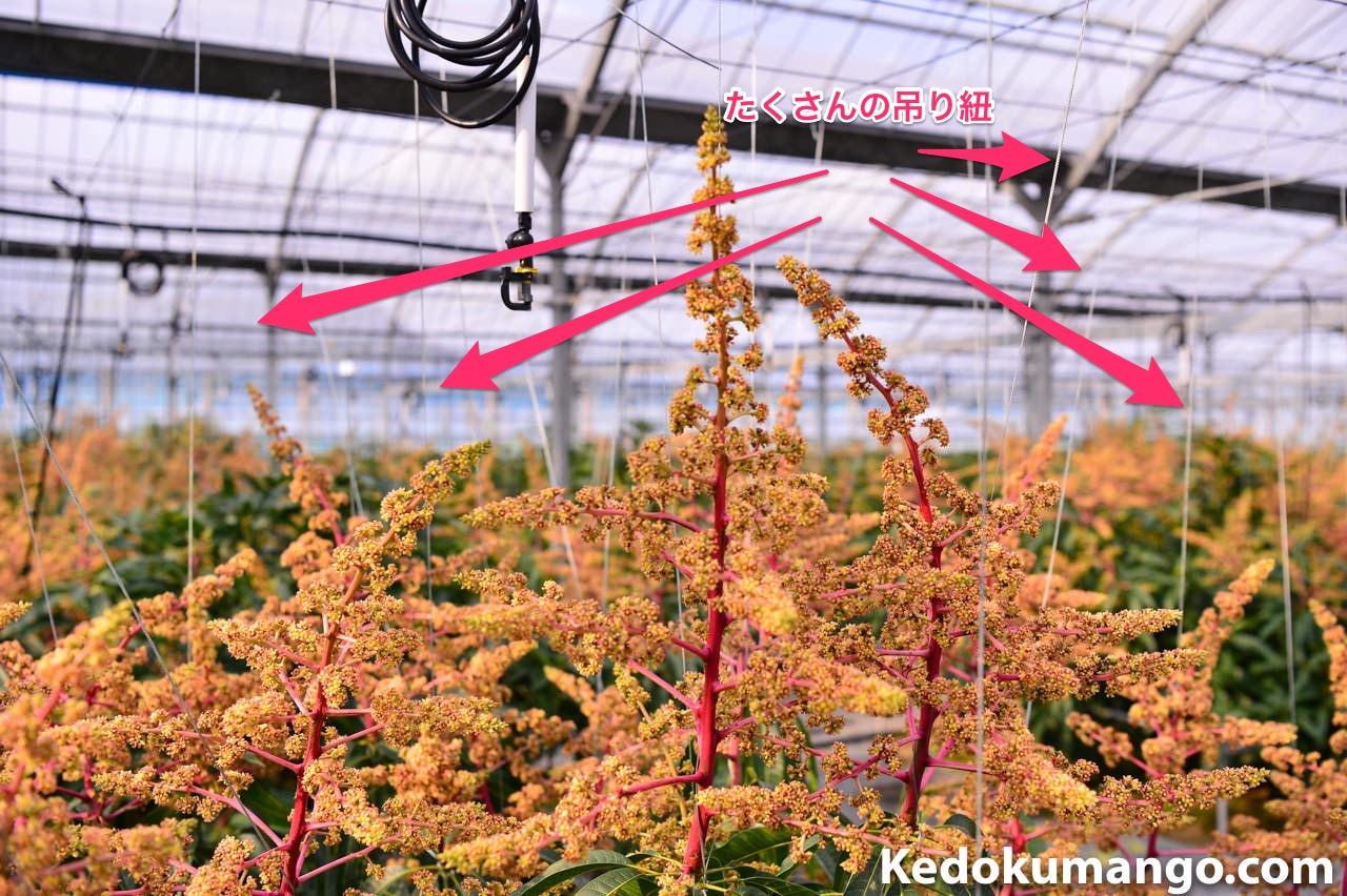 吊り紐で吊られたマンゴーの花