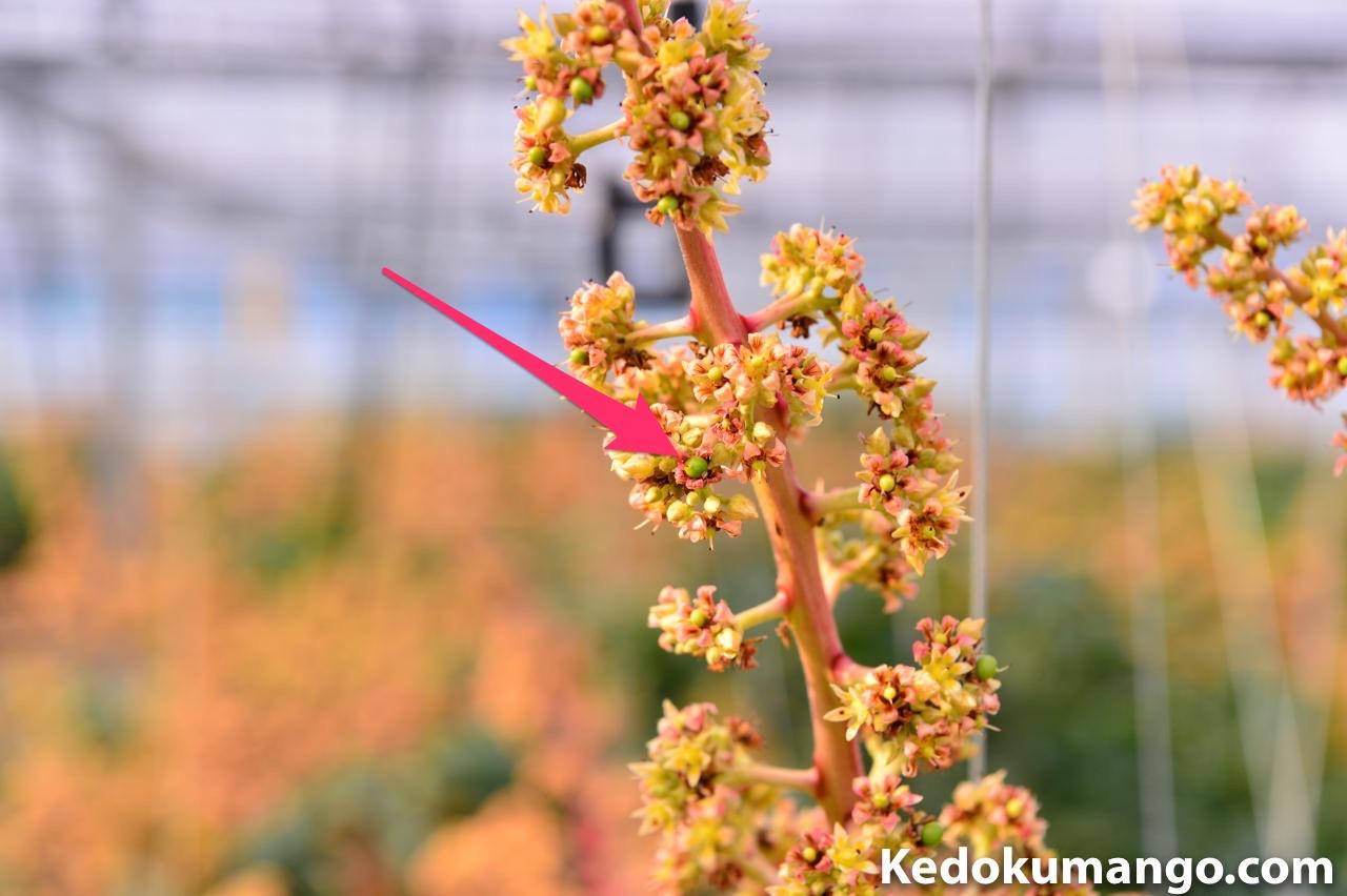 マンゴーの花軸