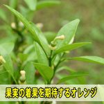 [徳之島]では秋の収穫が楽しみな【オレンジ】の花にも着果を確認しました!
