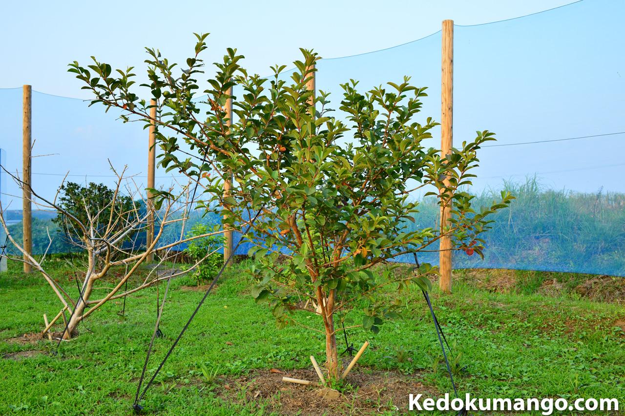 キンググアバの樹