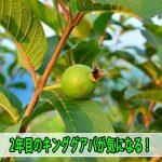【グアバ栽培】4月に入り気温の上昇とともに果実の肥大スピードが上がってきたようです!