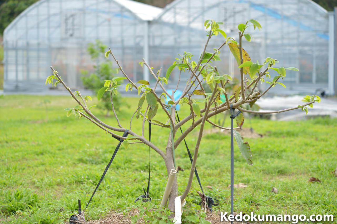 アテモヤ「ヒラリーホワイト」の樹