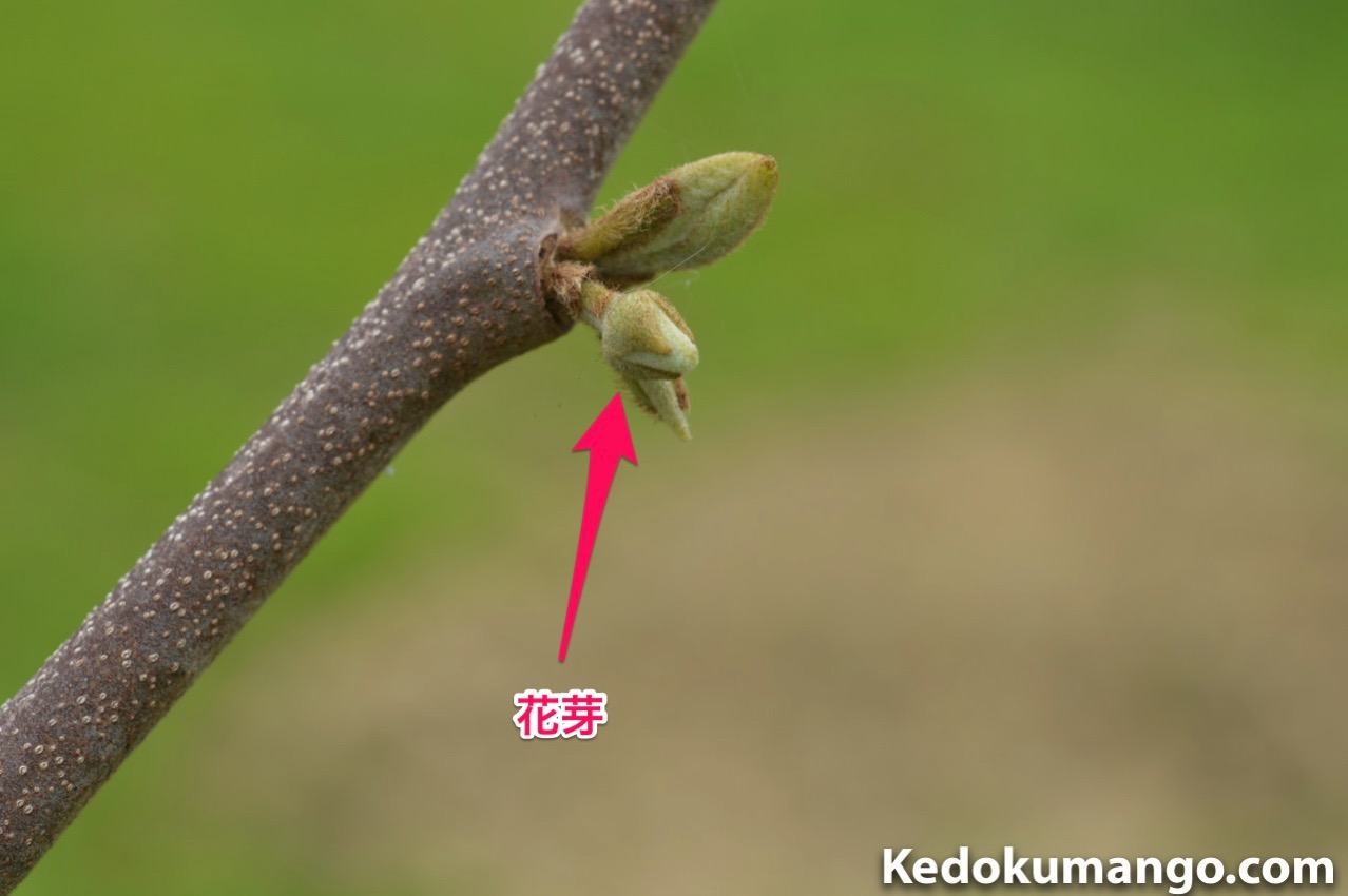 チェリモヤの花芽_1