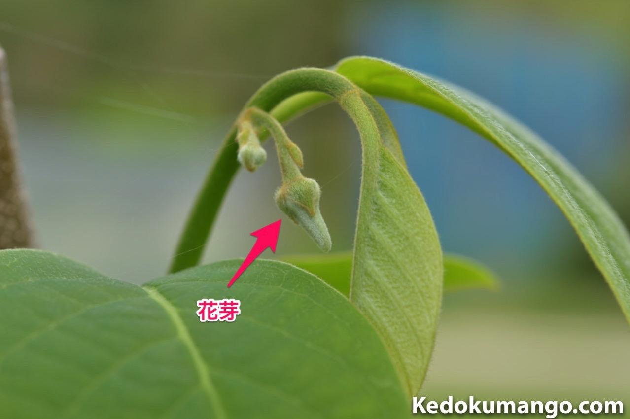 チェリモヤの花芽_2