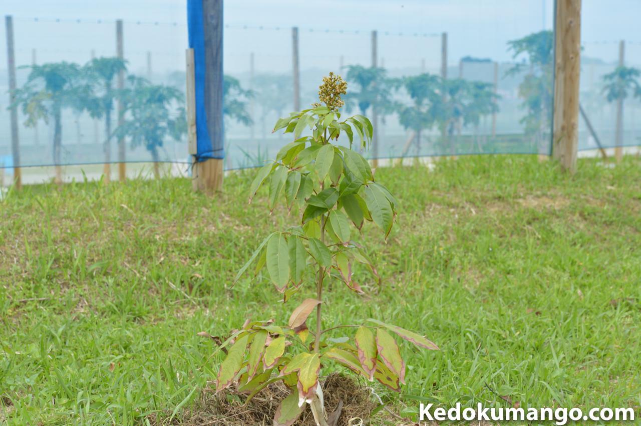 定植から1年が経過したライチの樹