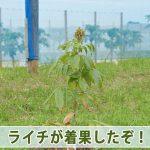 [徳之島]で育てる【ライチ】の着果が確認できたので幼果の様子を紹介するよ!