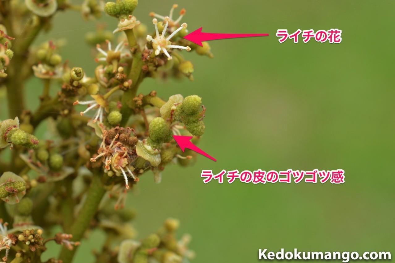 ライチの花と幼果