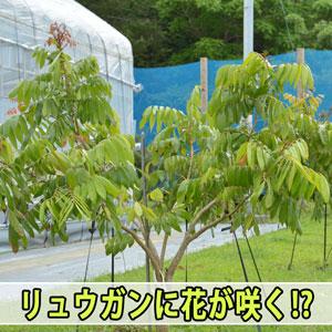 熱帯果樹の【リュウガン】を徳之島で育て始めて5年!ようやく花芽があがってきました! | 花徳マンゴー