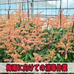 【マンゴー栽培】梅雨入り前にカビ対策として防除作業を行いまいした!