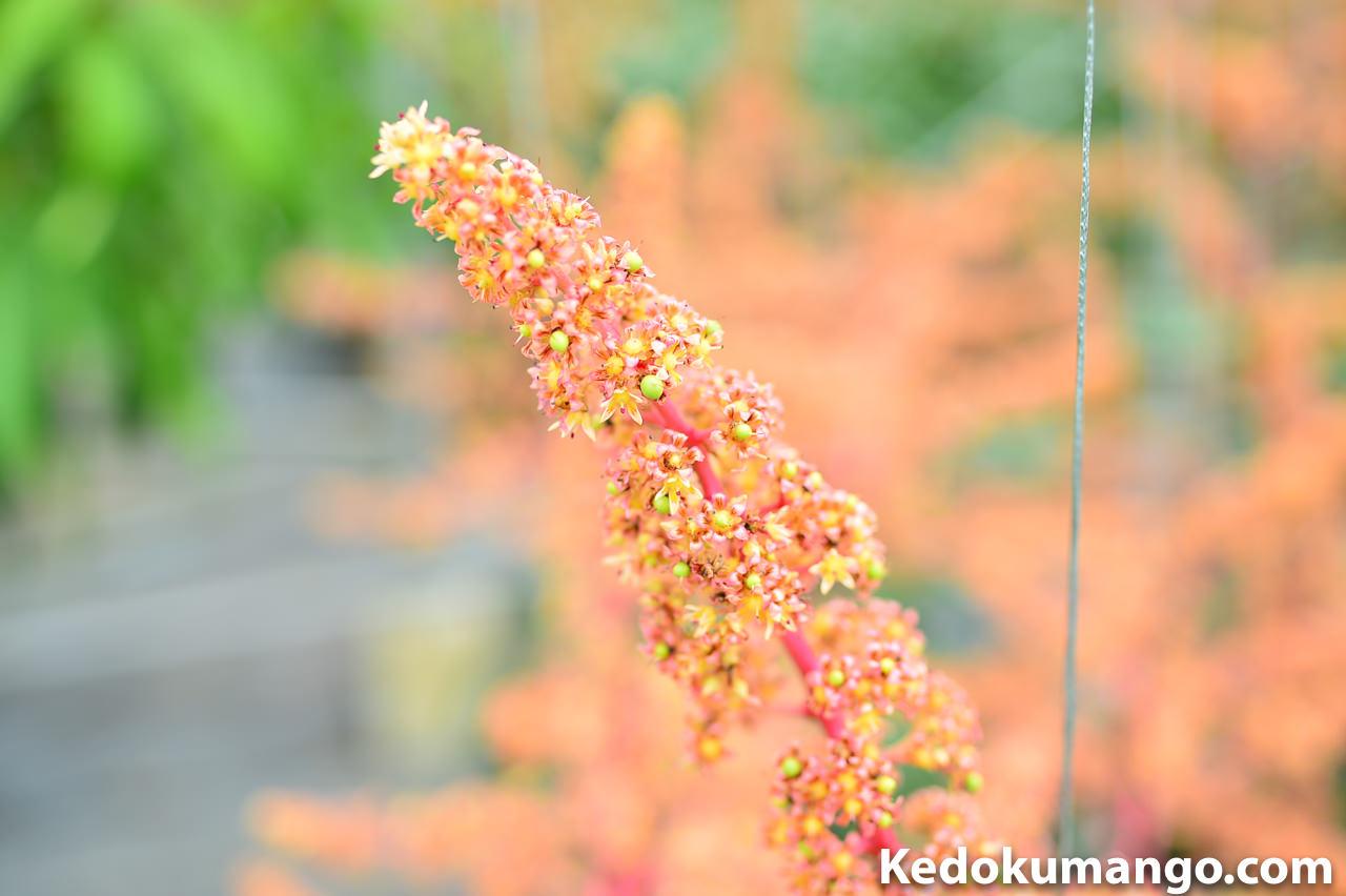 マンゴーの花_1