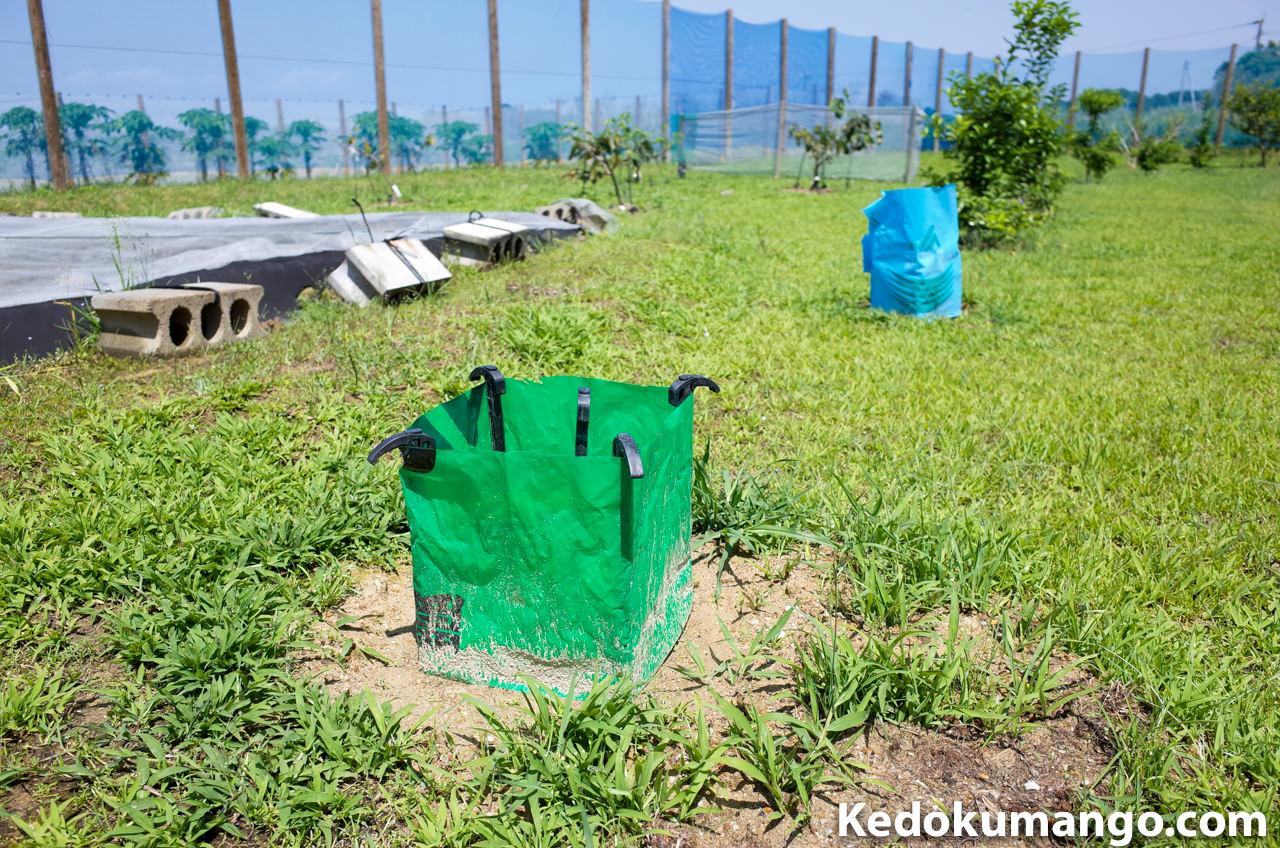 肥料袋で保護するパパイヤの苗木