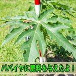 【パパイヤ栽培】苗木を定植してから1ヶ月が経過したので肥料を与えるよ!