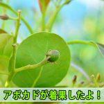 [徳之島]で栽培する【アボカド】は2017年も無事に着果したようです!