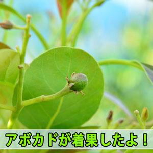 [徳之島]で栽培する【アボカド】は2017年も無事に着果したようです! | 花徳マンゴー