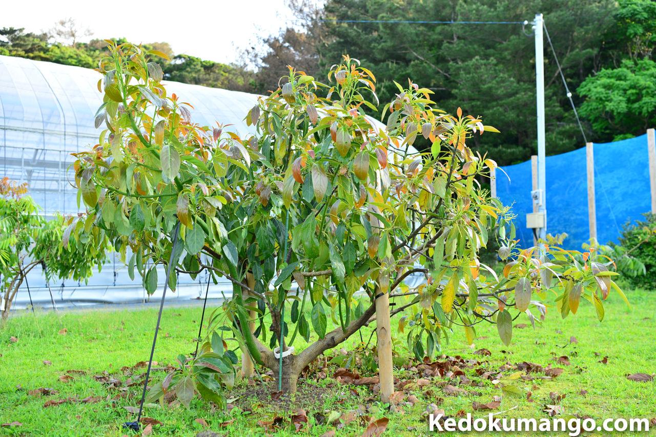 成長著しいハスの樹