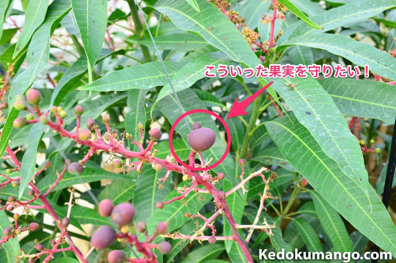 成長したマンゴーの幼果