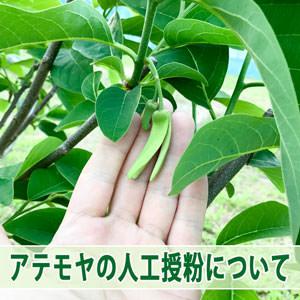 【アテモヤ】栽培方法で肝心な人工受粉の仕方をわかりやすく教えるよ! | 花徳マンゴー