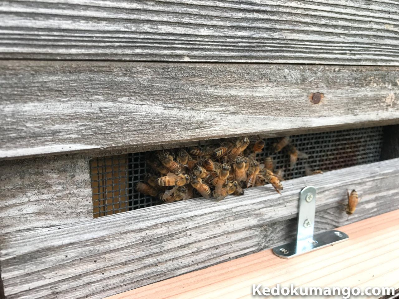 分蜂のように1箇所に集まるミツバチ