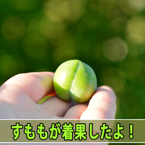 [徳之島]では、3月に開花した【すもも】が着果して果実肥大しているよ! | 花徳マンゴー
