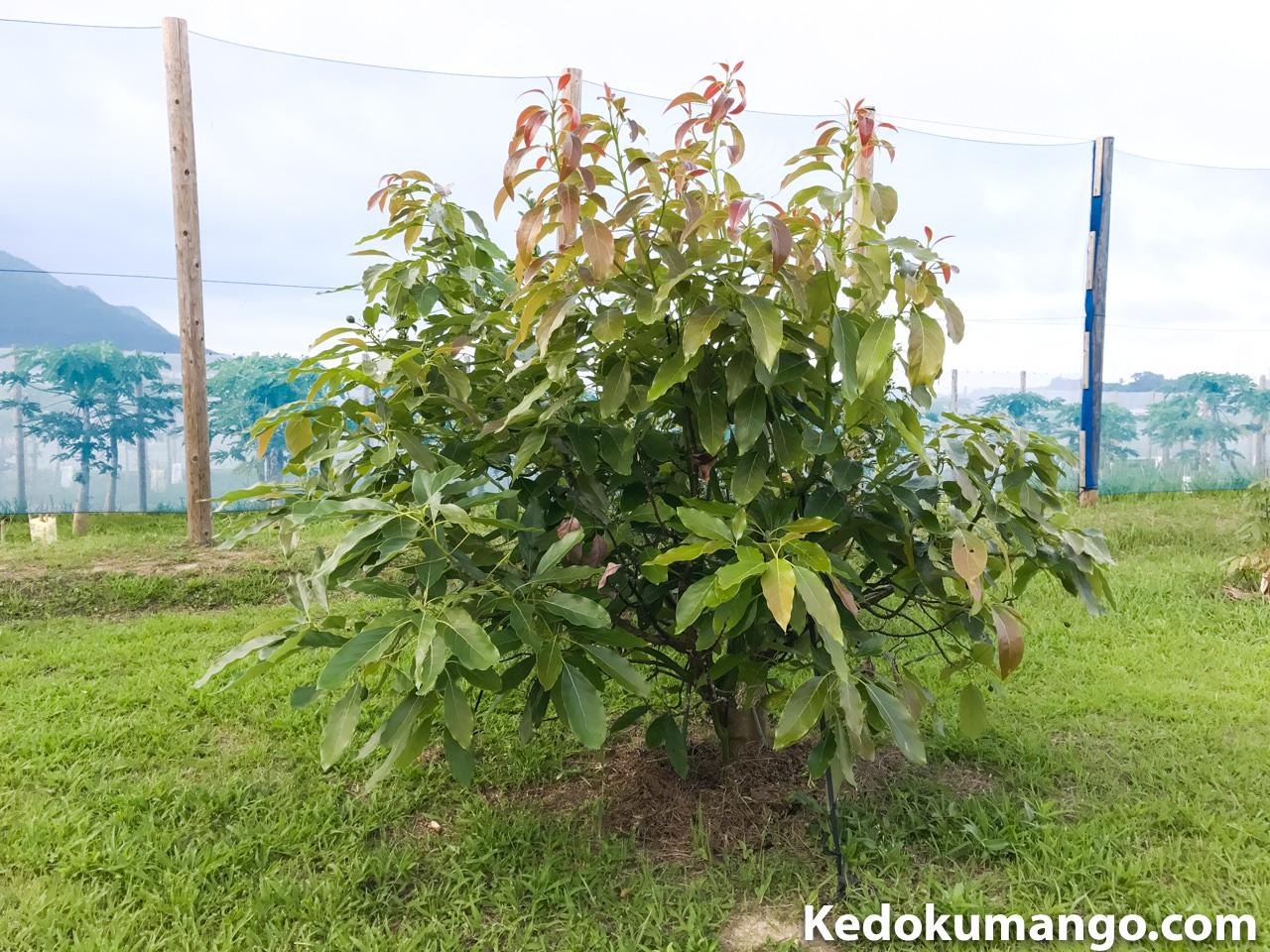 ベーコンの樹