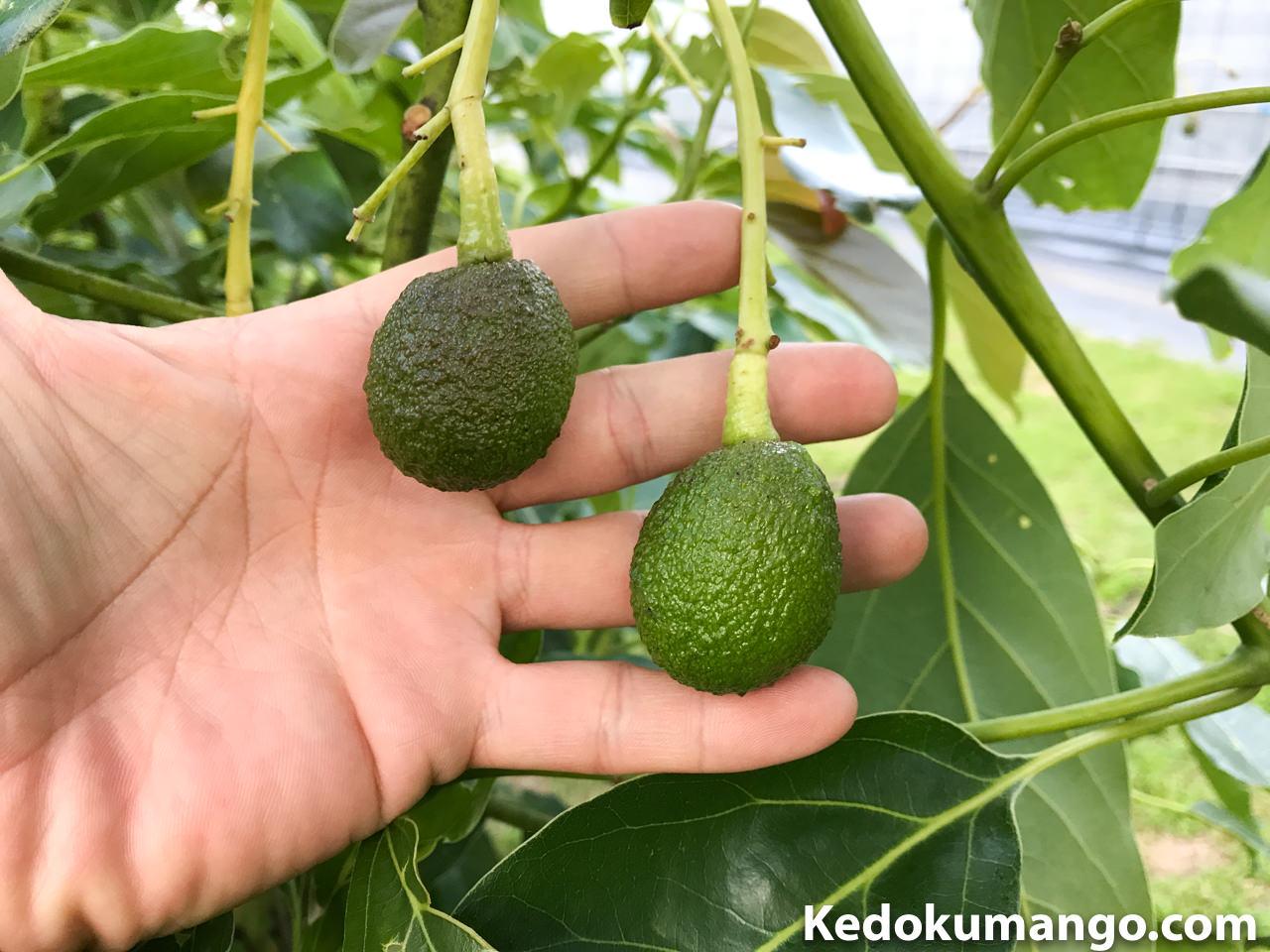 成長の早いハスの果実