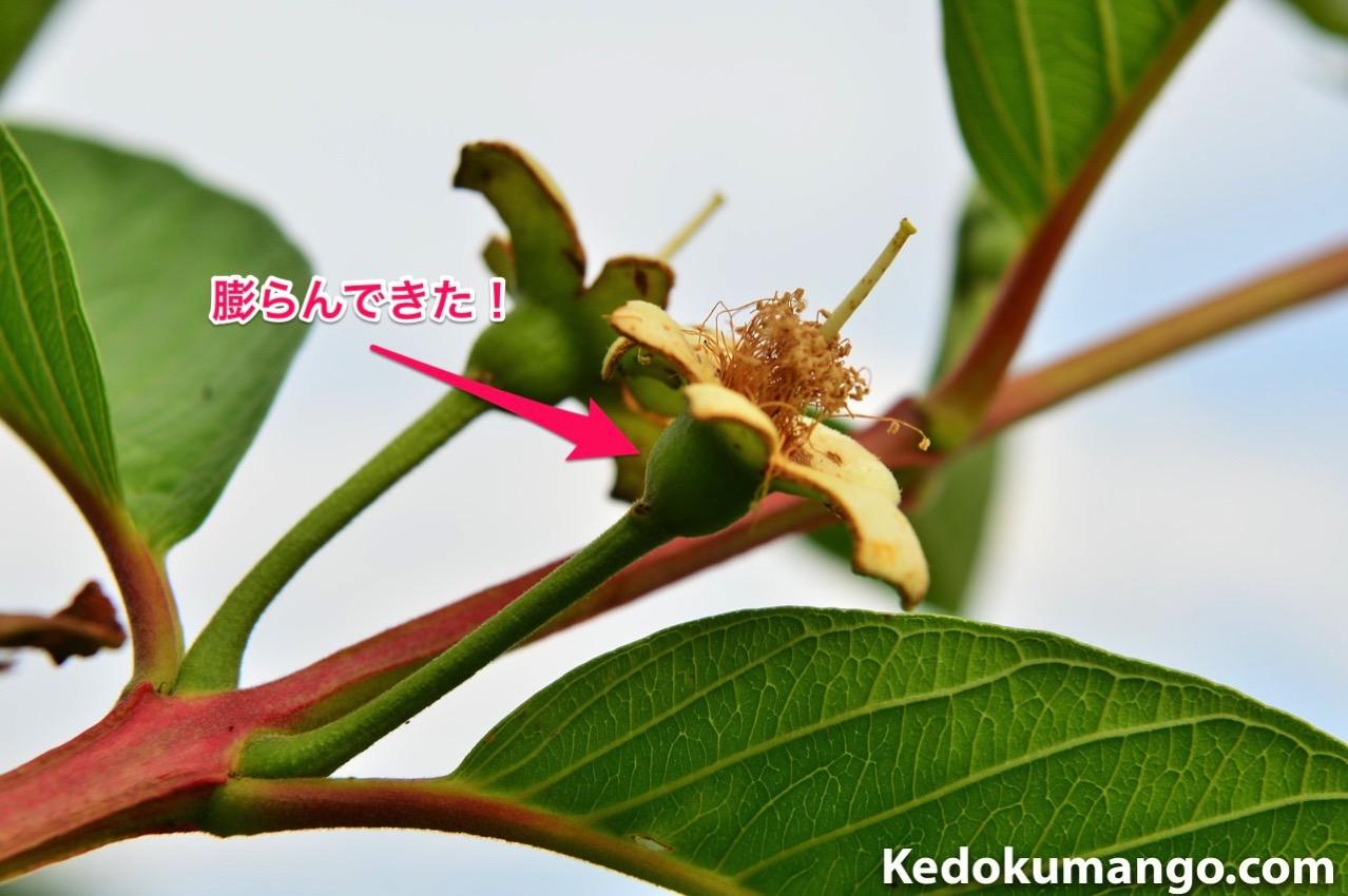 グアバの花で果実となる部分