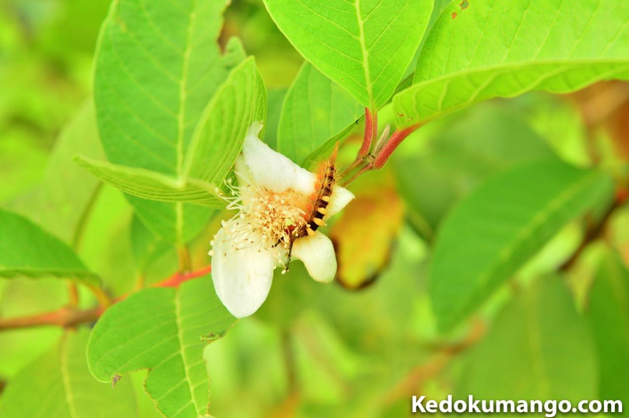 グアバの樹で発見した蛾の幼虫