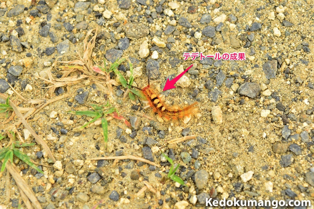 テデトールで捕獲した幼虫