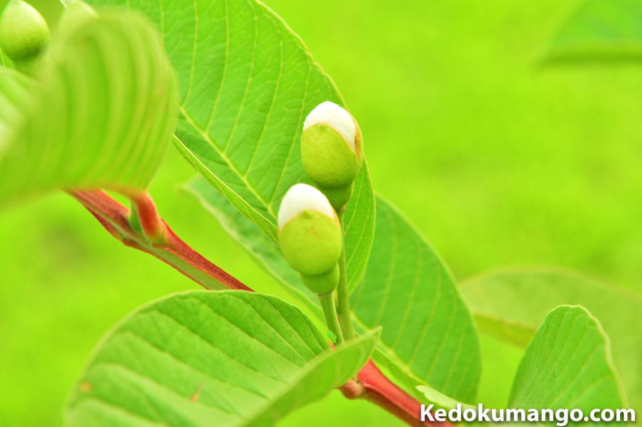 開花直前のグアバの蕾