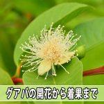 【グアバ】の蕾(つぼみ)から着果までの成長の流れについて紹介するよ!
