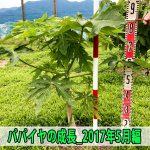 【パパイヤ栽培】苗木の定植から2ヶ月が経過した成長の様子を紹介するよ!