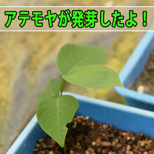 種を植えた【アテモヤ】が6ヶ月が経過して次々と発芽してきたよ! | 花徳マンゴー