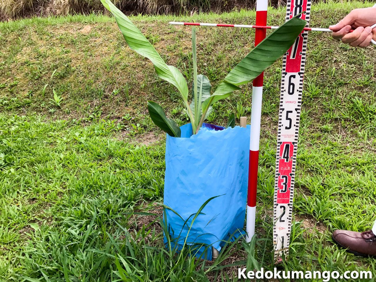 定植から2ヶ月経過した島バナナ