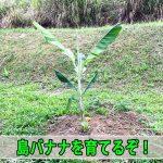 苗で入手した【島バナナ】を定植して2ヶ月が経過したので成長の様子を紹介するよ!