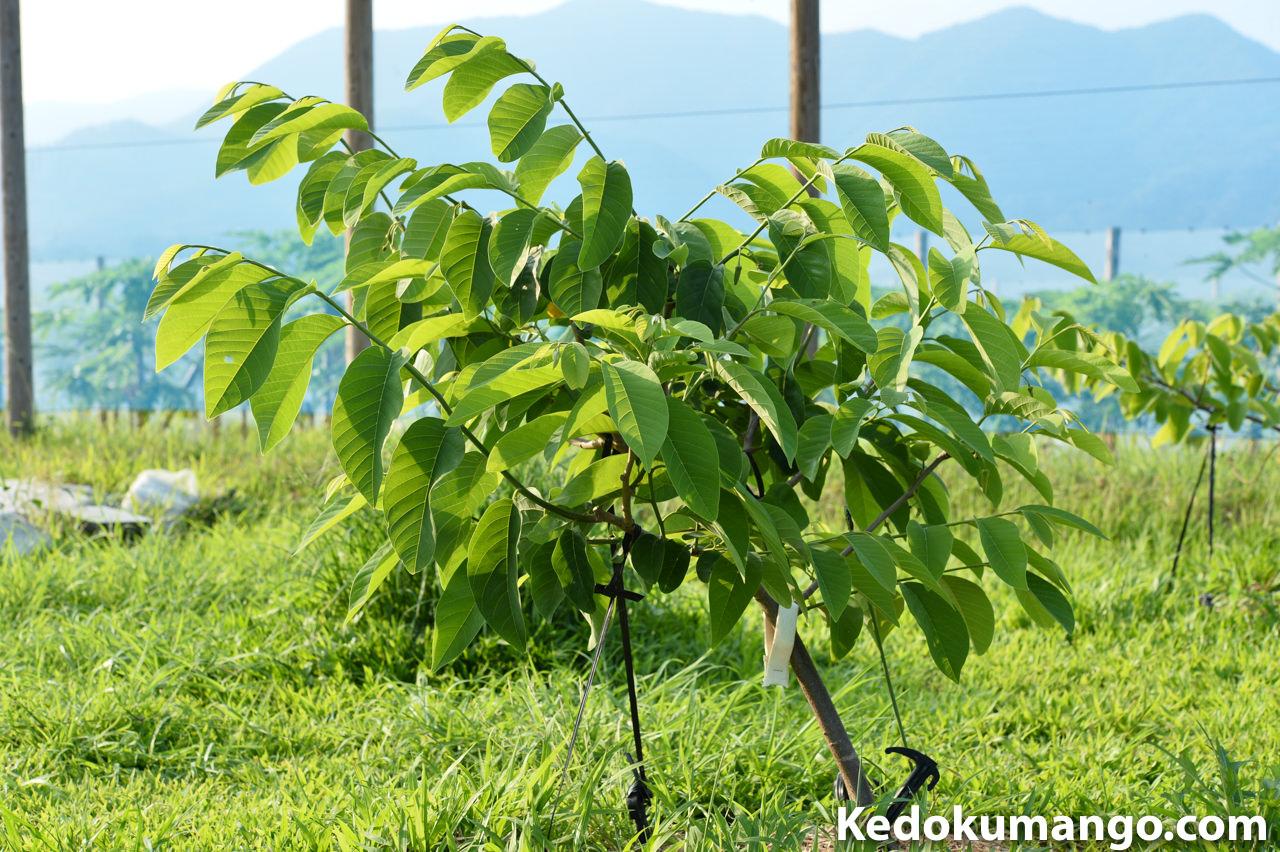アテモヤ「ジェフナー」の樹