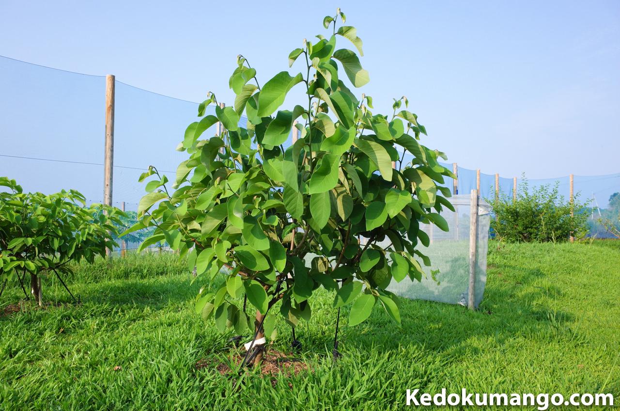 チェリモヤ「ミラビスタ」の樹