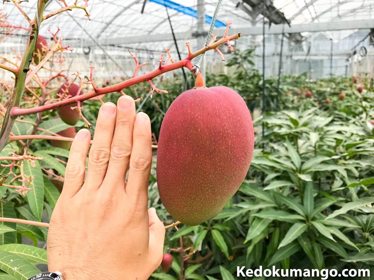 レッドキンコウの果実_1