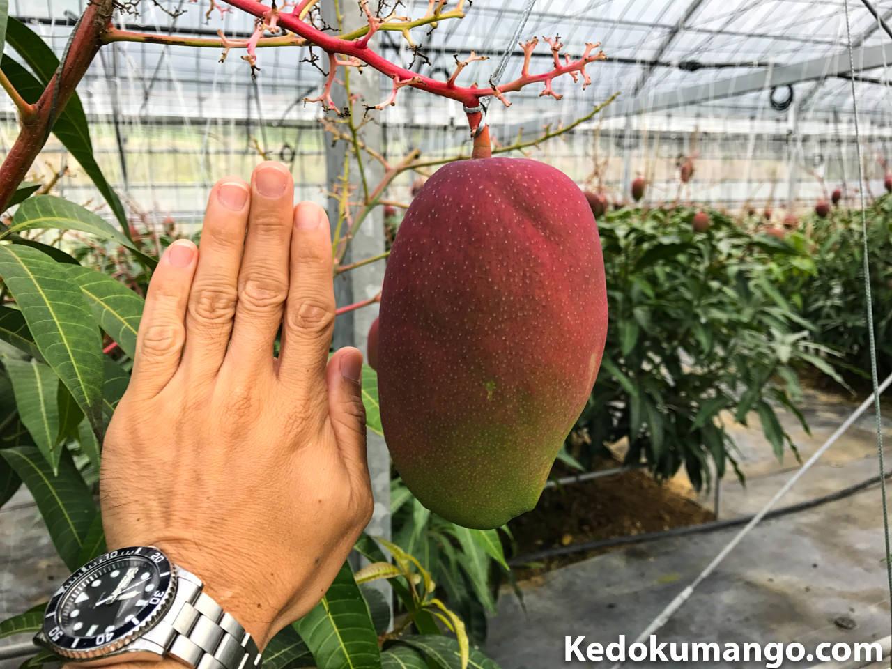 レッドキンコウの果実_2
