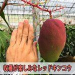 マンゴーの品種【レッドキンコウ】が苗木の入手から3年で順調な果実肥大を見せています!