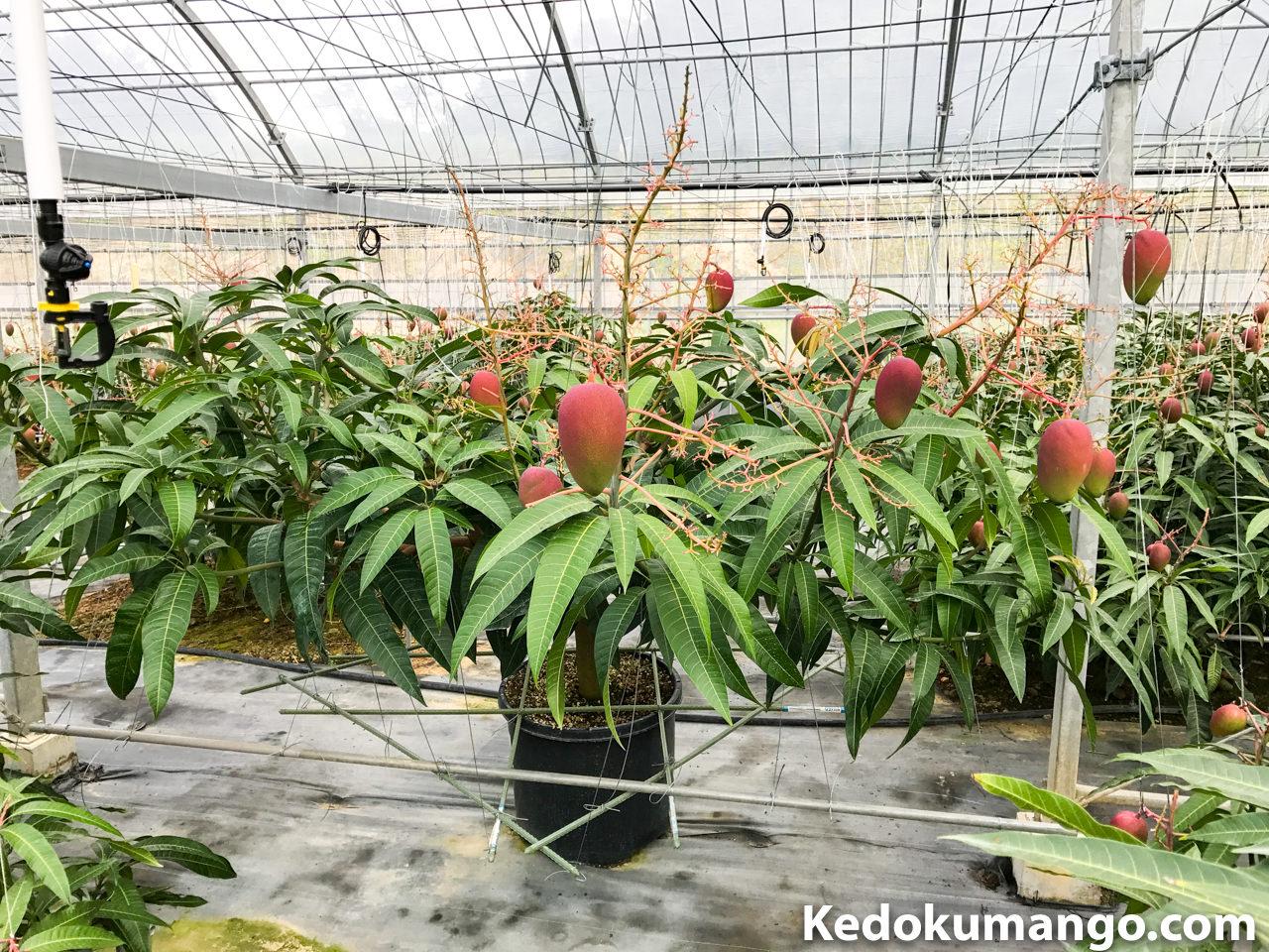 果実の実るレッドキンコウマンゴー