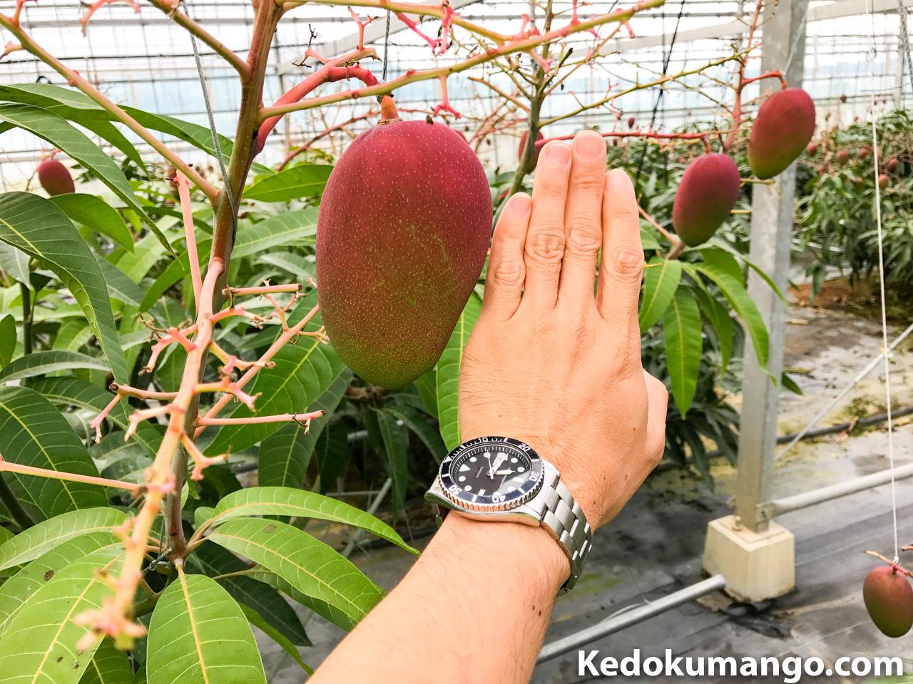 レッドキンコウの果実_3