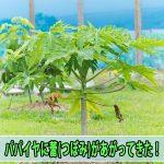 ハワイから種でやって来た【パパイヤ】に蕾(つぼみ)があがってきたぞ!