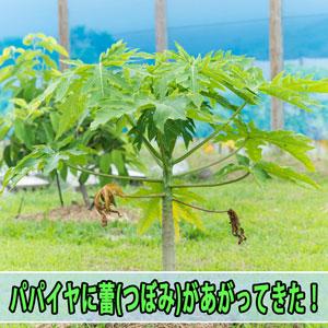 ハワイから種でやって来た【パパイヤ】に蕾(つぼみ)があがってきたぞ! | 花徳マンゴー