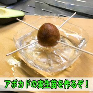 【アボカド栽培】スーパーで購入したアボカドから接木用の台木を作るぞ! | 花徳マンゴー
