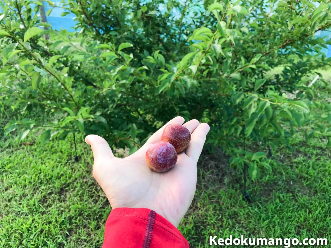 収穫した「すもも」の果実