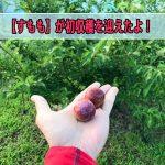 【すもも】が苗木の定植から3年で収穫を迎えることができました!