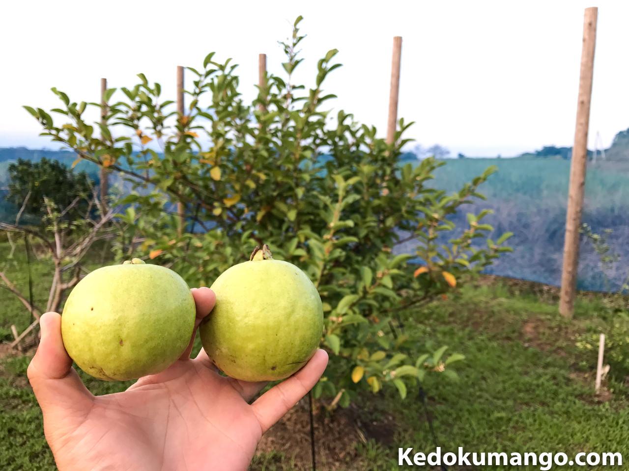 収穫したキンググアバ