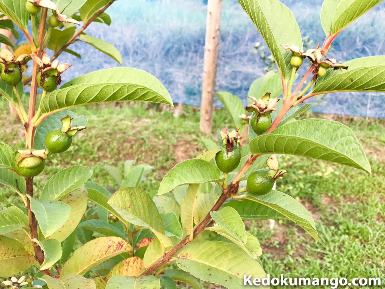 果実が肥大していくキンググアバ